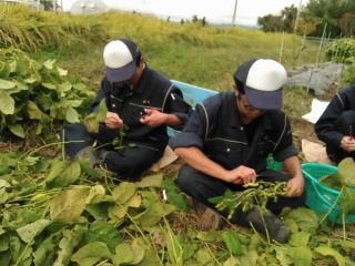 黒大豆の栽培